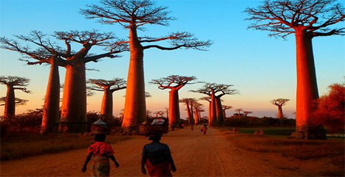 The Baobab Alley